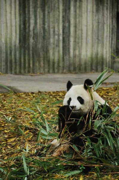 壁纸 大熊猫 动物 398_600 竖版 竖屏 手机