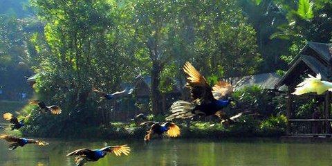 爱伲寨,九飞龙瀑布等景点,突出体现了:原始森林,野生动物,民俗风情