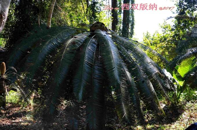 棕榈类树木手绘图片