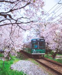 日本2月樱花开吗