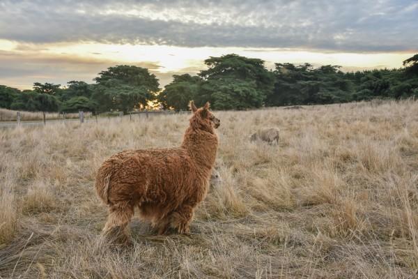 羊群中,还混了一匹可爱的草泥马