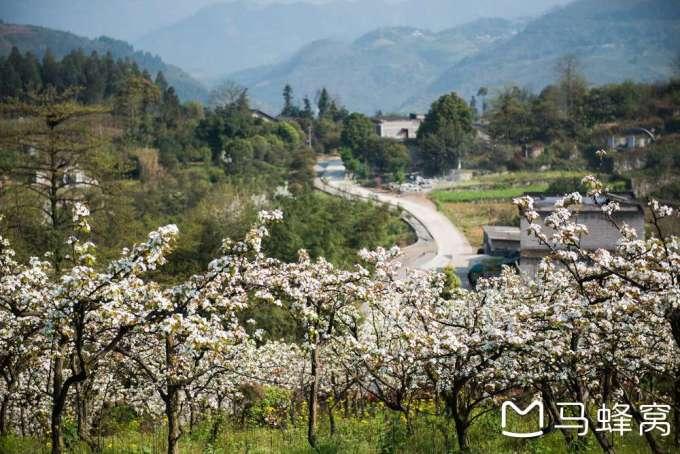 阳春三月赏梨花——正东镇西湖村梨花山庄游记