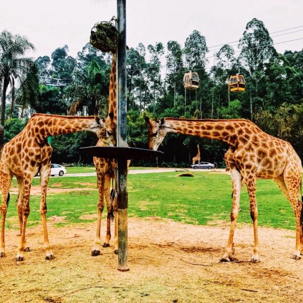 世上最全双隆记——广州长隆野生动物园 79