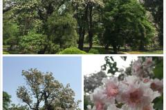 香山公园的楸树