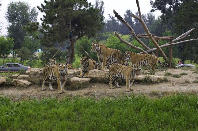 """北京野生动物园简介 """"北京野生动物园""""游玩特色: 集动物保护、野生动物驯养繁殖及科普教育为一体 汇集了世界各地珍稀野生动物200多种10000余头 以""""保护动物、保护森林""""为宗旨,突出""""动物与人、动物与森林"""" 散放观赏区、步行观赏区、动物表演区、科普教育区和儿童动物园 北京野生动物园坐落于美丽的永定河畔,在3600余亩的土地上养育着200余种,10000余头只来自世界各地的珍稀野生动物,是集野生动物驯养繁殖、科学"""