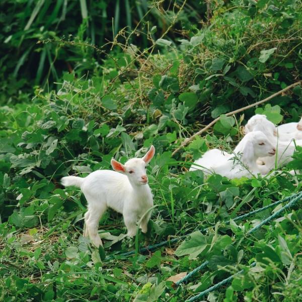 这个小羊真的是很可爱了,耳朵竖起来像小精灵