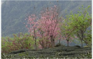 【嘉义图片】茶清花香--台灣阿里山