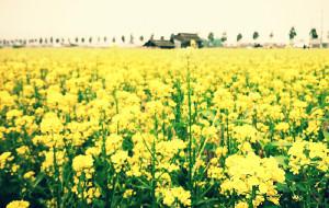 【中山图片】2月,那片油菜花