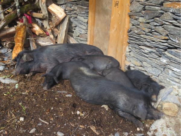 客栈附近的小猪猪好可爱啊!