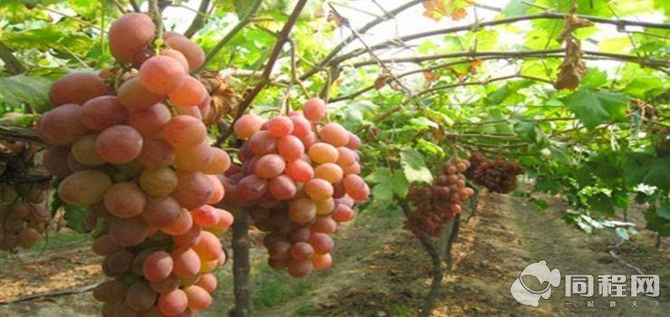 阿尔铺葡萄