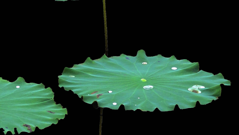 水彩荷叶分解步骤画法