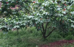 【简阳图片】简阳的樱桃沟
