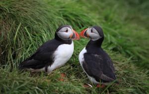 【冰岛图片】可爱的Puffin鸟,不远万里全是为了你!