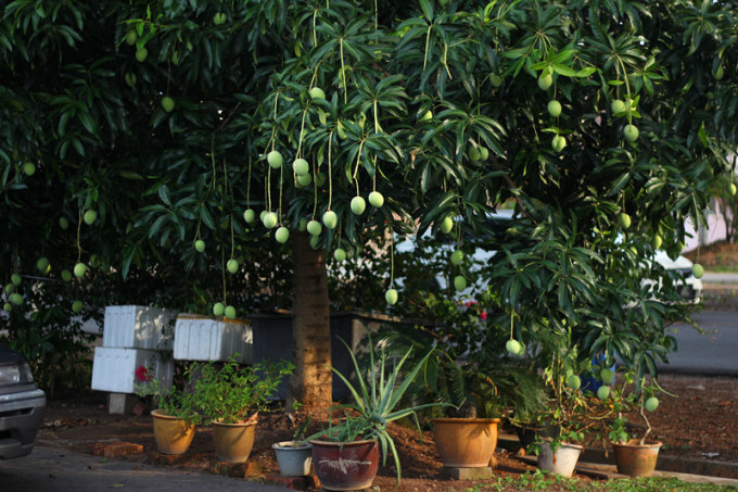 一些树长得高了,果子成熟了怕掉下来砸到路人,于是就有好心人系上塑料