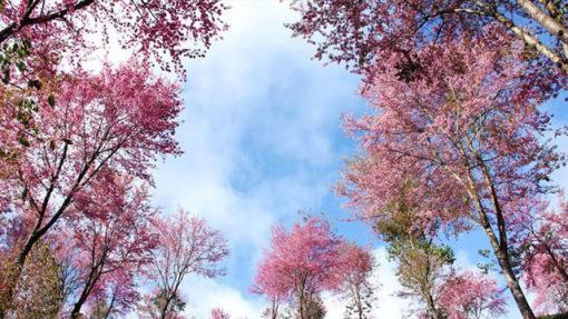 那漫山的樱花树在波浪边若影若现