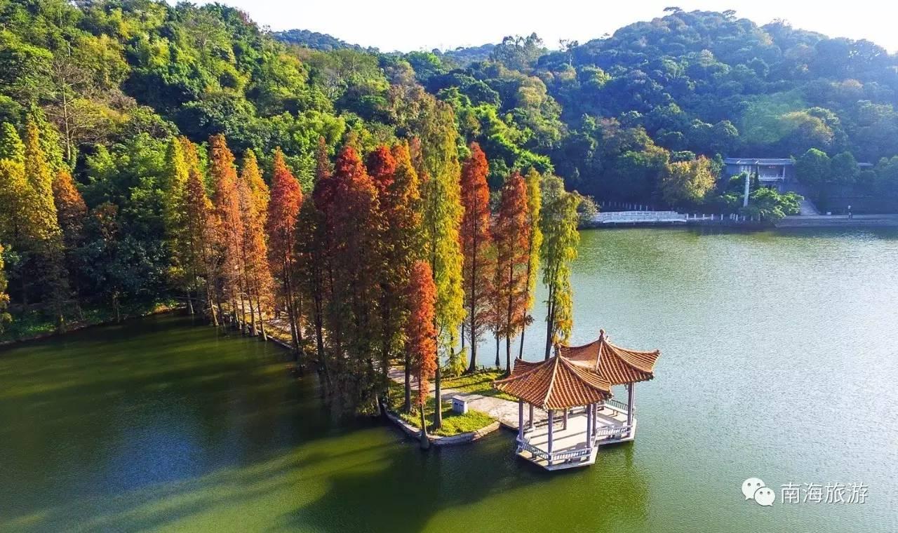 """不知不覺,12月份快要接近尾聲了。北方開啟了銀裝素裹的冬季,而南海的風景依然多姿多彩~水杉染紅,茶花爭艷,西樵山私藏著嶺南冬日最繽紛的景致。    水杉染紅,疊翠流金   近日,西樵山天湖公園的水杉已換上新衣裳,由金黃色變成了橘紅色。紅彤彤的一片水杉在蒼翠的常綠植被中尤為搶眼。    水杉樹是古老的稀有樹種,古樸端莊,有""""植物界大熊貓和活化石""""的美譽。每年秋冬之際,細密的水杉葉漸漸完成翠綠、金黃、橘紅的漸變,給西樵山的風景添上了最濃墨重彩的一筆。     游人佇立在天湖的湖心亭里,"""