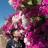 富纪子的樱花