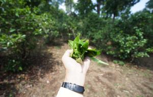 【澜沧图片】访景迈山 只为寻找一片树叶