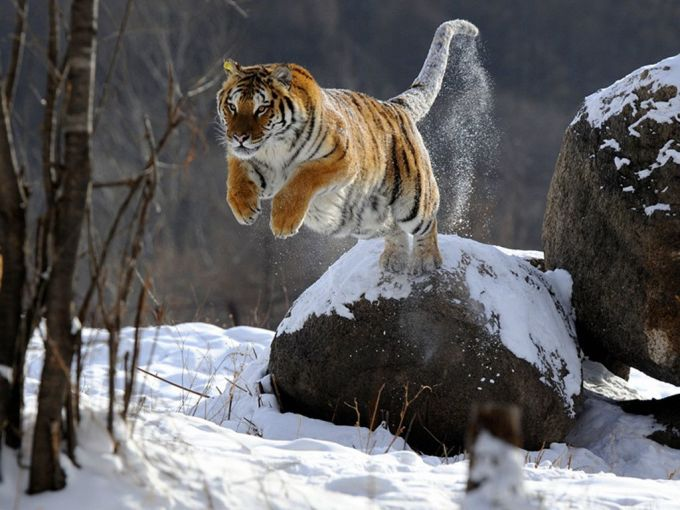 虎(西伯利亚虎),陆地最大(强)猫科动物