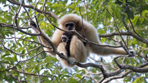 亮点1:它是唯一一家可以看到珍惜保护动物长臂猿的丛林飞跃,还上过超