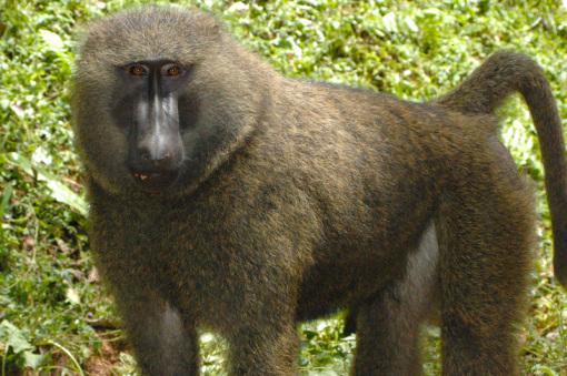 不过注意野生动物不要喂食哦) 基巴莱过年公园同事提供,黑猩猩生活