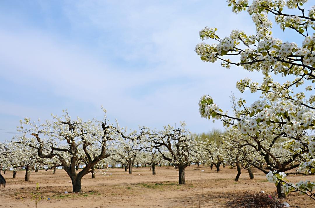 大兴梨花开满天----梨花节