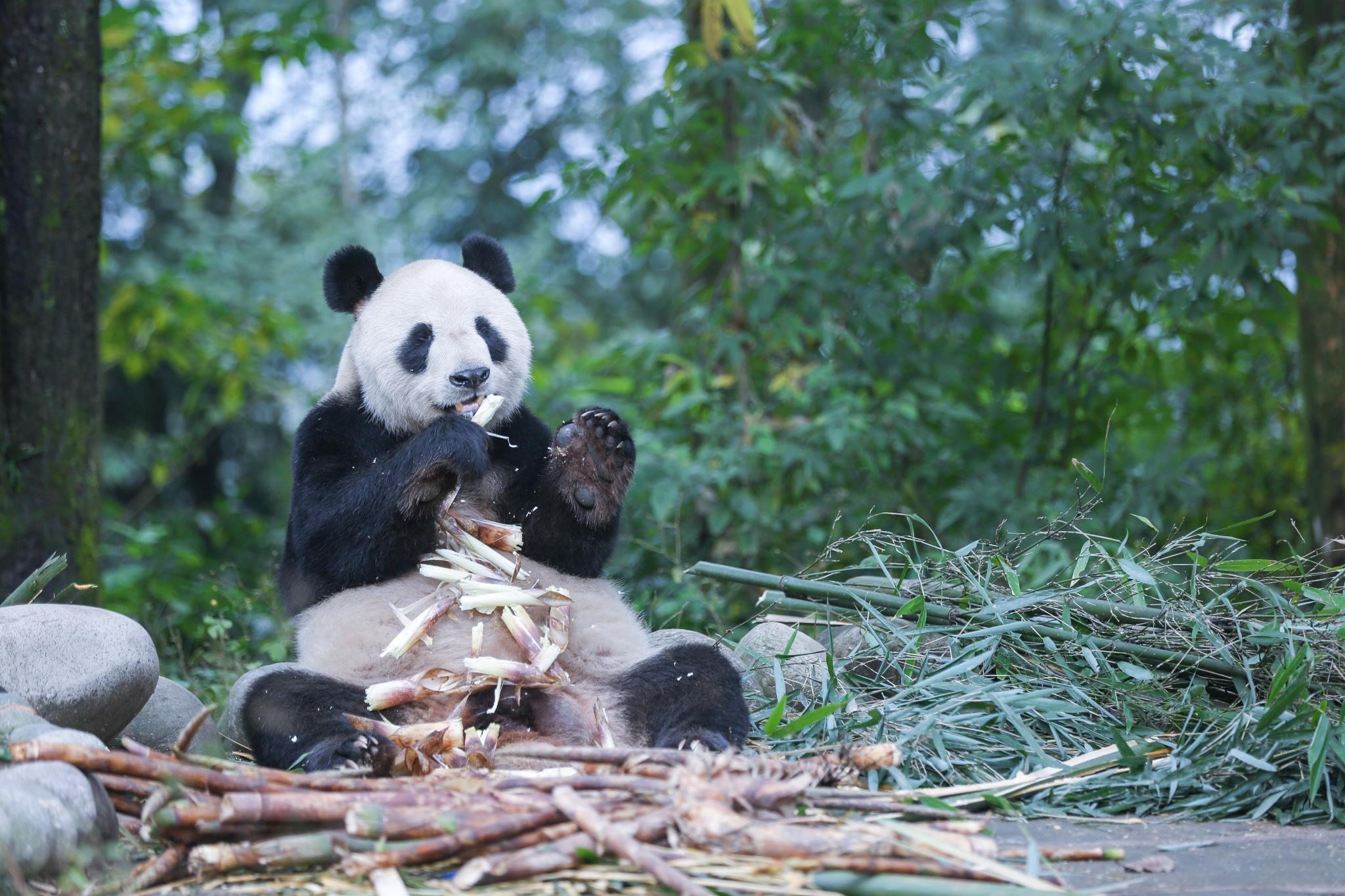 YaAn BiFengXia Panda Base