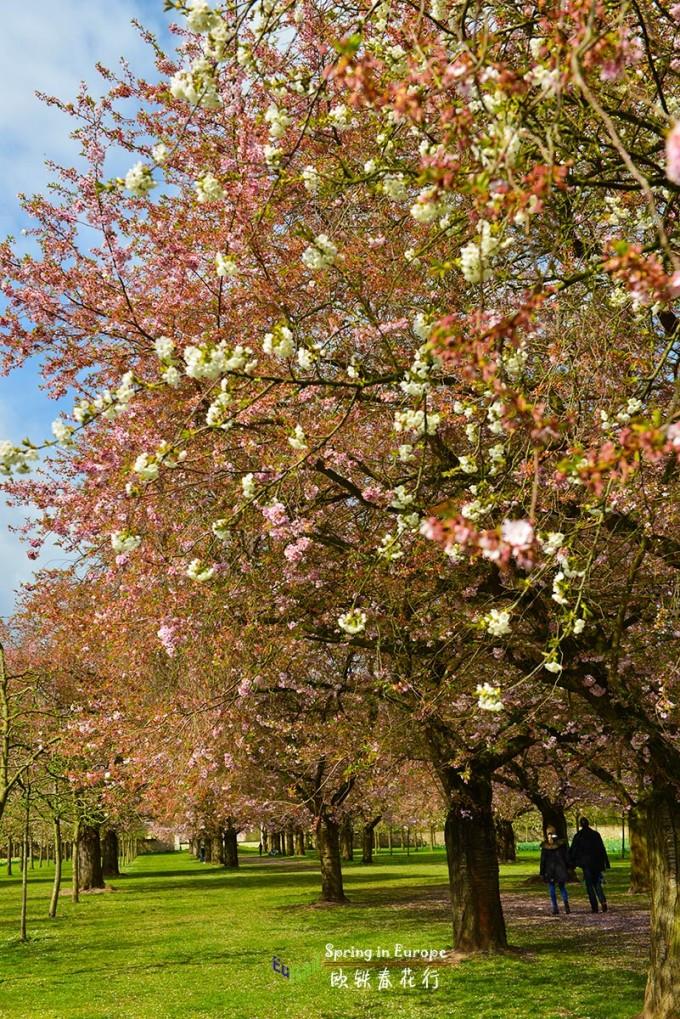韦青根 欧铁/粉色的樱花和白色的樱桃花交相在一起,争奇斗艳,各领风骚。